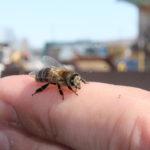 Пасечники вынесли пчёл из зимовника