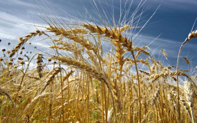Россия хлебное поле